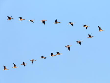 birds v shape